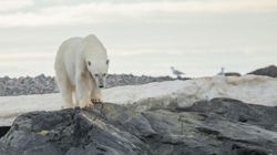 Polar Bears Added To International List Of At-Risk