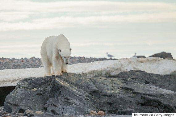 Polar Bears Added To International List Of At-Risk