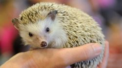 10-Year-Old Takes Her Fight To Own A Pet Hedgehog To City
