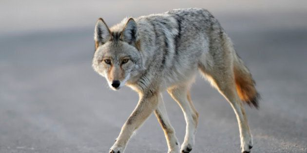 Vancouver Coyote Sightings On The