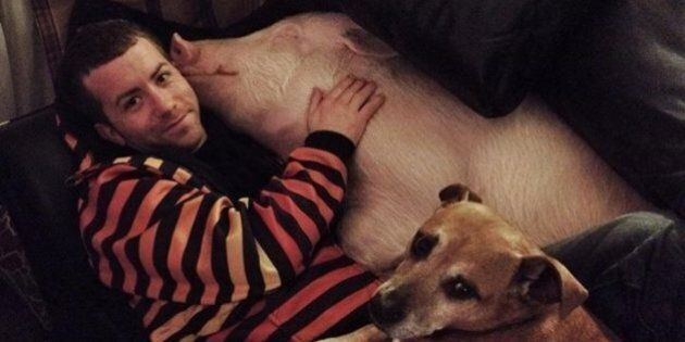 Esther The Wonder Pig: Toronto Couple Make An Adorable Pet Out Of A Pig