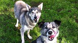 Former Sled Tour Dogs Need