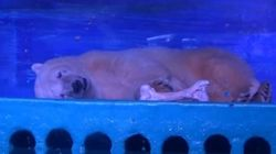 'World's Saddest Polar Bear' Lives Inside A