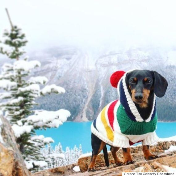 Crusoe The Celebrity Dachshund Lives Out Dream Banff