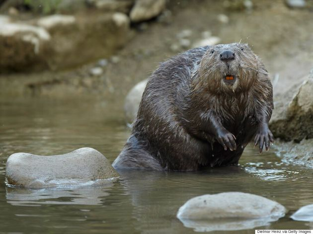 Wolseley Beaver Beaten To Death With A