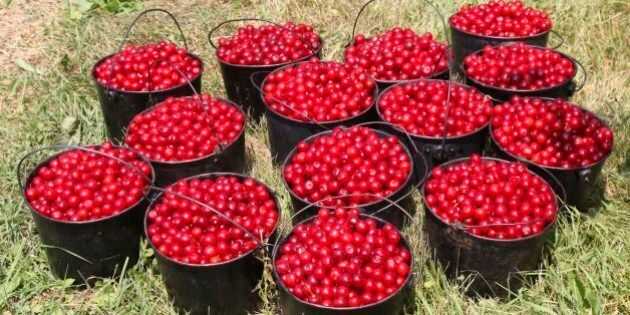 Buckets of freshly picked Montmorency cherries