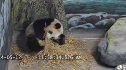 Toronto Zoo's Panda Prepping For Potential Baby Just Like Human