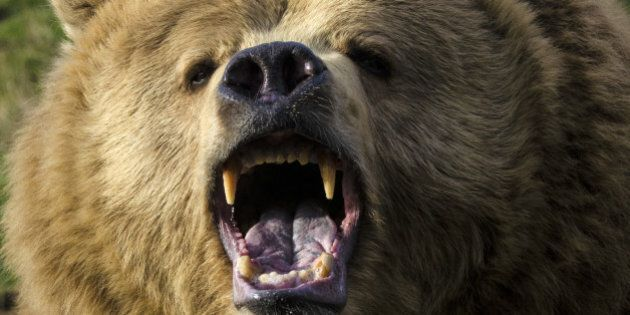 Grizzly Attacks Car On Highway 16 Outside