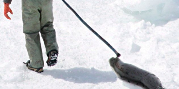 Newfoundland Seal Hunt Suffers From Heavy Ice, Global