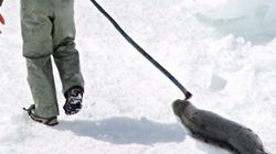 The Seal Hunt Is A Total