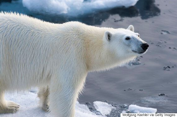 Polar Bear Parts Trade Won't Be Opposed By The U.S.