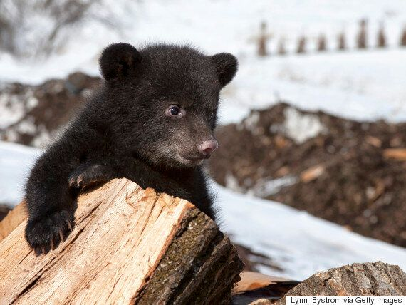3 Black Bear Cubs Mysteriously Appear In Banff