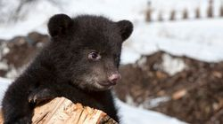 3 Mystery Bear Cubs Show Up In Banff