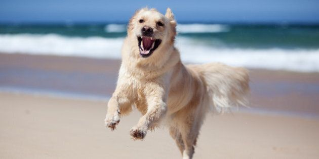 Excited golden retriever running on the