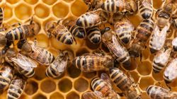 Unbee-lievable: Thieves Steal 5 Million Bees From Quebec