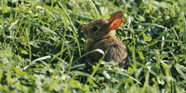 Canmore Rabbits: No Supreme Court Hearing For Feral Bunnies Defender Daniel