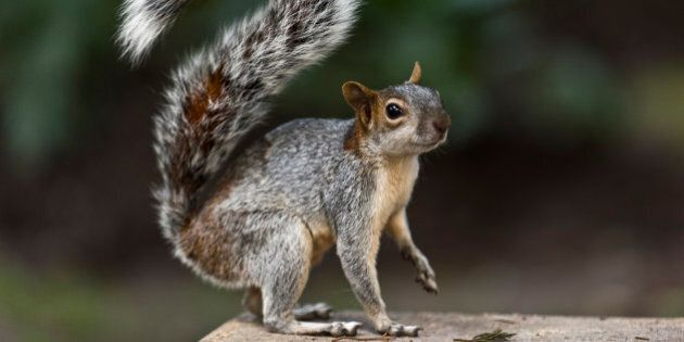 A squirrel forages for food, at the Chapultepec woods in Mexico City on September 11, 2013. AFP PHOTO/Ronaldo...