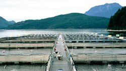 Fish Farm Commits To Atlantic Salmon In