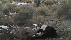 Badger Buried 50-Lb Dead Cow All On Its