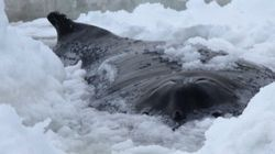 Whale, Dolphins Die After Being Trapped In Thick Ice Near St.