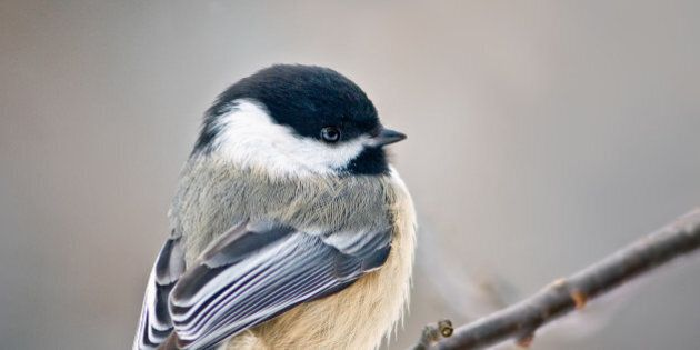 An undated photo provided by the Cornell Lab of Ornithology shows a Black-capped chickadee.  A chickadee's two-note song and a song sparrow's trill can be subtly modified by low levels of PCBs, according to a study published this week in the journal PLOS ONE.  (AP Photo/Shirley Gallant)