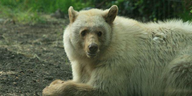 Distinctive 'White' Black Bear At Calgary Zoo