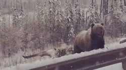 Meanwhile In Alberta, A Bear Is Spotted Devouring A