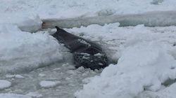 Trapped Humpback Whale Can't Be Saved: Newfoundland Rescue