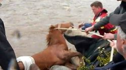 WATCH: Exhausted Wild Horse Rescued From Icy