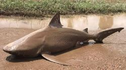 Dead Shark Found In Australia In Place Where Sharks Do Not