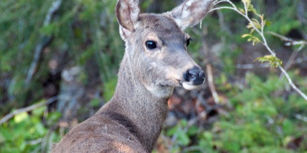 Victoria Deer Cull Approved Over Road Safety