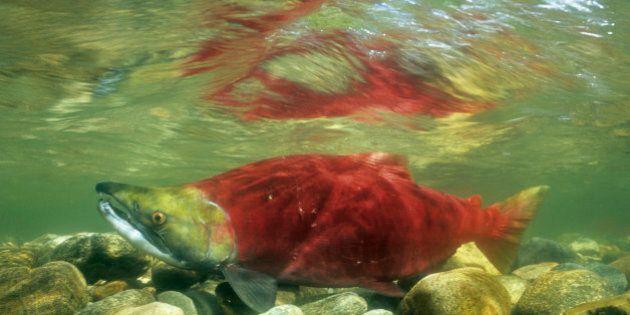 Mount Polley Mine Spill Threatens B.C. Sockeye Salmon