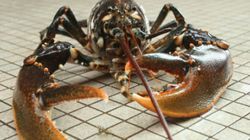 How To Humanely Kill A Lobster - Still Not For The