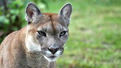 Cougar Mauls Alberta Enviro
