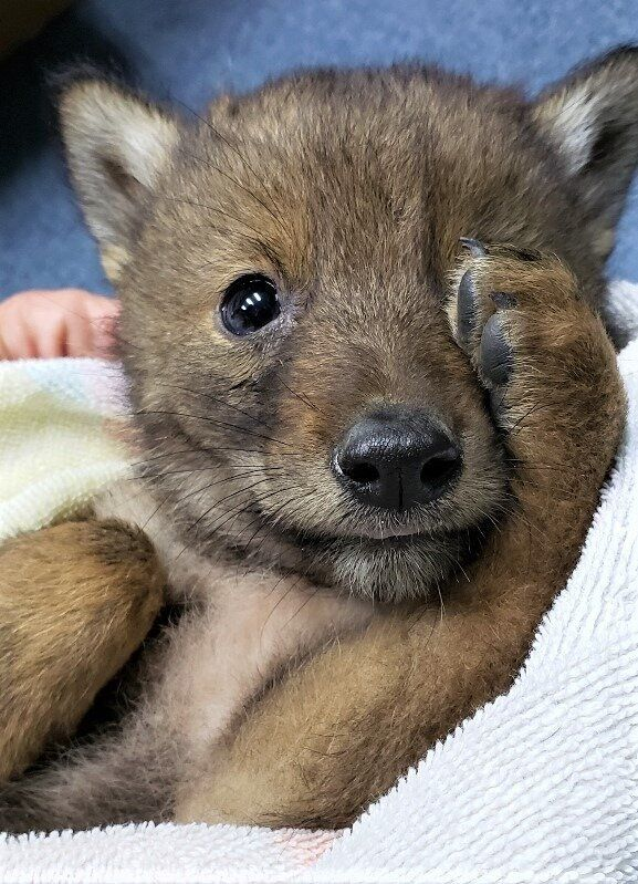 Carlo the coyote pup is doing much better now.