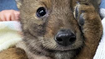 carlo coyote pup