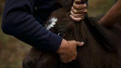 Alberta's Wild Horses Face