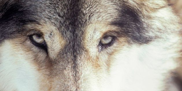 Fearless Wolf Pack Prompts New Wildlife Tracking