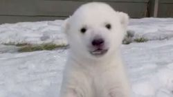 WATCH: Baby Polar Bear Sees Snow For The First