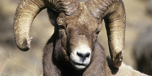 Hunting Not Causing Alberta Bighorn Sheep To Grow Smaller: