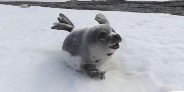 PRINCE EDWARD ISLAND, CANADA - MARCH 23: A young Harp Seal on a beach on March 23, 2010 on Prince Edward...