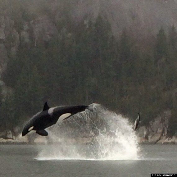 Orcas Chase Dolphins In Blind Channel, Squamish (VIDEO,