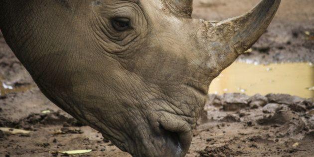 african white rhino in