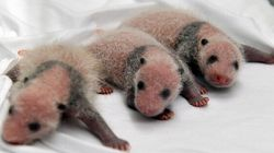 BABY PANDAS. THREE OF