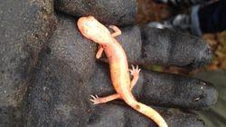 LOOK: Rare Albino Salamander Spotted In