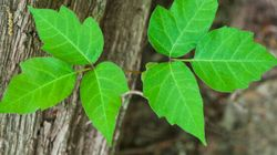 A Fungus May Soon Save You From The Poison Ivy