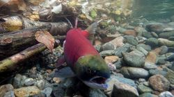 Timing Of Mine Spill Likely Saved Salmon: