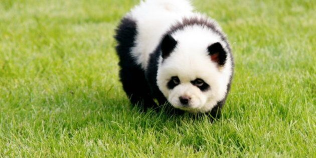 ZHENGZHOU, CHINA - JUNE 05: (CHINA AND GERMANY OUT) A dog is painted as a baby giant panda during the...