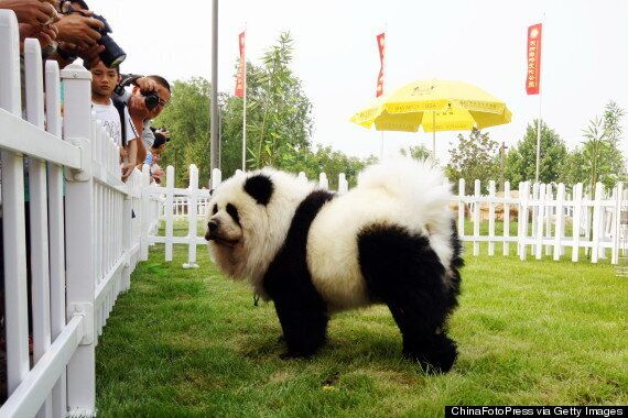 Panda Dogs Are Dogs That Look Like Pandas