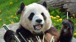Toronto Zoo Visitors Get Too Close In Off-Limits Panda